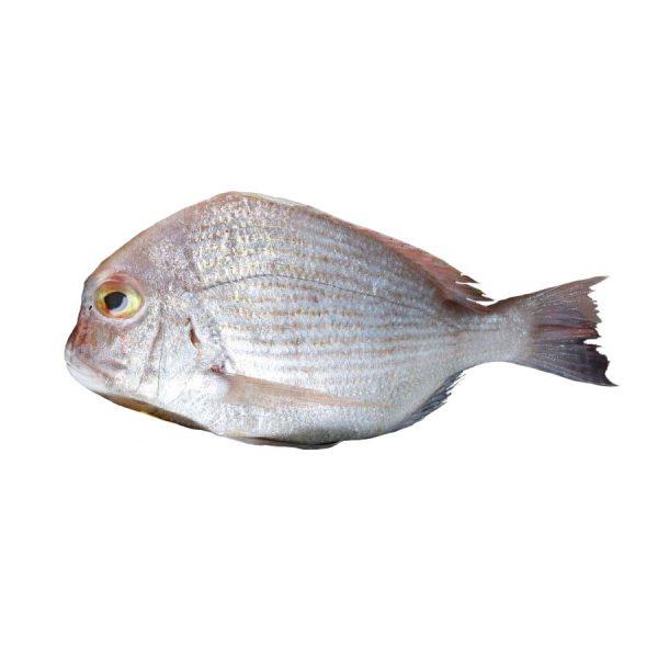 ماهی شانک تازه دریا - زی ارگانیک